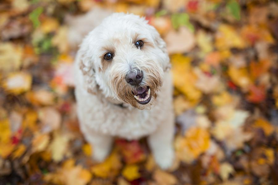 bigstock happy goldendoodle dog outside 268816627