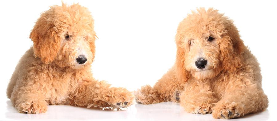 bigstock two golden doodle puppies isol 15285308